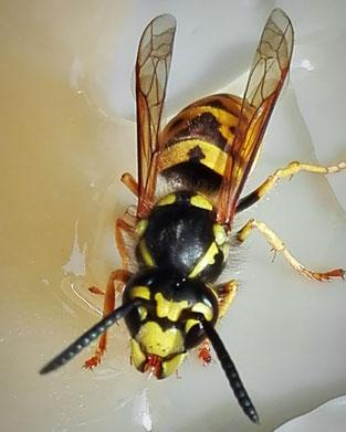 Deutsche Wespe an meinem Honigbrot 2017