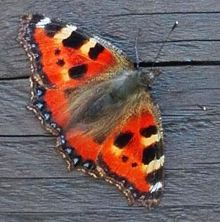 Hier geht es zu den Schmetterlingen
