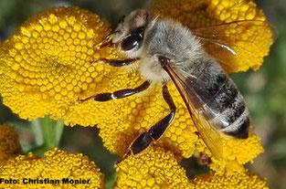 Honigbiene an Rainfarn, Arnsberg Hüsten 2016