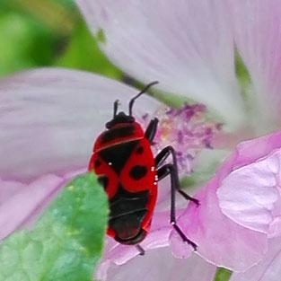 Hier geht es zu den Käfern und Anderen Insekten