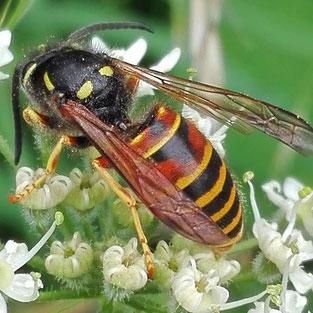 Hier geht es zu den Wespen