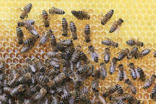 abeille dans la ruche  pour miel et goûter d'antan en deux-sevres