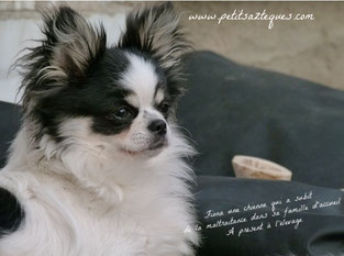 Chihuahua retraité