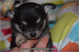 Photo de chihuahua