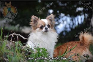 Chihuahua bleu fawn aux yeux clair étalon de notre élevage