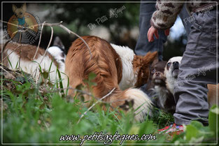 Le chihuahua est un chien attentif