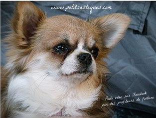 Femelle chihuahua poil long