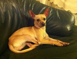 Chihuahua mexicain tête de cerf