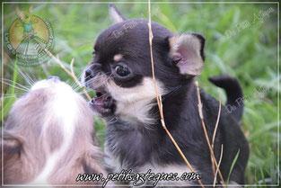 Moi chihuahua girl poil court, pas puce de chien sur moi !