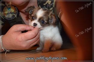 Chihuahua de qualité