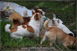 Fabuleux animal de compagnie, le mini chihuahua