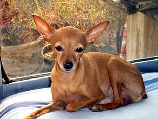 Standard chihuahua mexicain tête de biche