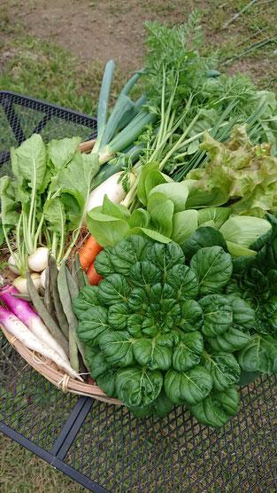 セットの一例です。この日は、大根・人参・葱・韮・カブ・ターサイ・日野菜カブ・いんげん・チンゲン菜・サニーレタス・サラダ菜・大根葉でした。写真にはありませんが、カボチャ2/1もセットに入りました。