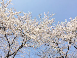 桜の花が満開です