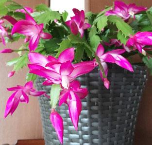 可児の和エステ「心美」のブログ、毎年キレイに咲いてくれるシャコバサボテン