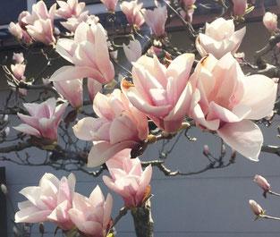 満開のモクレンの花