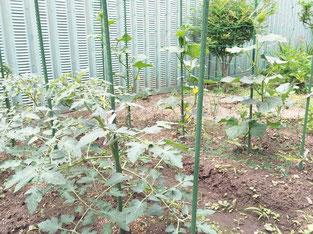 トマトとキュウリを育てています!