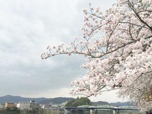 木曽川にかかる桜