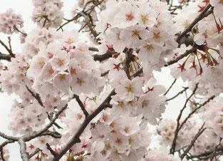 犬山の桜の花
