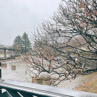 雨の中、力強く咲き始める桜の花 (2021.3.13撮影)