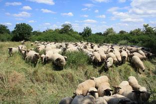 Schafe in der Westerschledde in Geseke