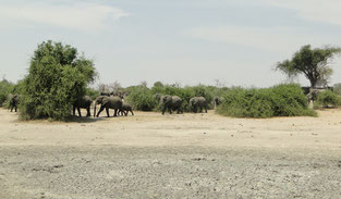 A big herd of elephant arrives
