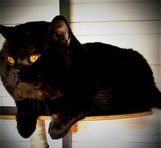 BKH Deckkater und Vater des Katzenbabys Katze Elina. BKH Kater Farben lilac nicht colourpoint sondern lilac tabby