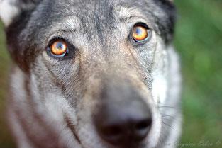 Tschechoslowakischer Wolfshund Welpen Zucht Züchter VDH Papiere Brandenburg Wolfhund