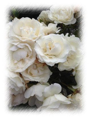 weisse Rose Helvetia