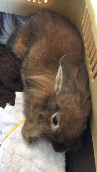 手術前で緊張しているウサギ