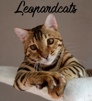 Leopardcats