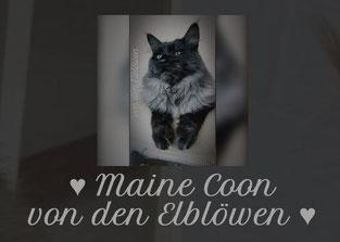 Maine Coon von den Elblöwen