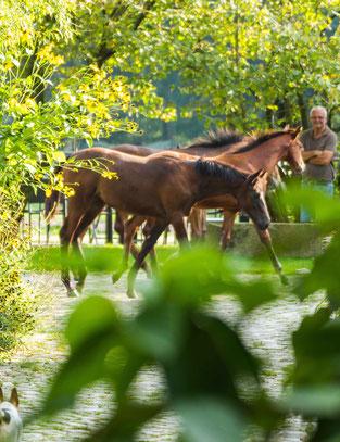 Fohlen auf dem Trakehnergestüt Krussenhof in Holm