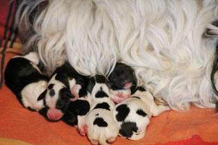 Tibet Terrier I - Wurf du joyeux Berger