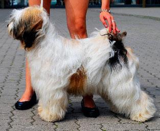 Tibet Terrier Rüde Henry