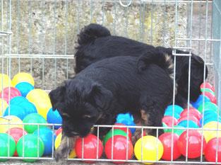 Tibet Terrier E-Wurf du joyeux Berger