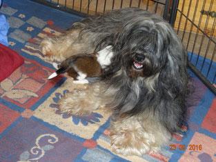 Tibet Terrier Hündin Emelie mit Tibet Terrier Welpe