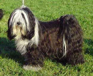 Tibet Terrier Hündin Ashar