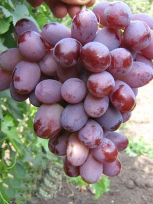 сорт винограда Вечерний Саратов