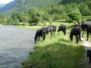 chevaux de merens s'abreuuvant à la rivière