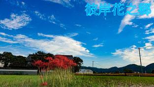 【京都旅遊】 秋分・京都龜岡 曼珠沙華 彼岸花 紅花石蒜 花葉兩不相見 - 大丹波観光