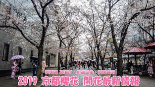 2019 京都櫻花 開花最新情報 - 祇園通 高瀨川・川端三条・祇園白河