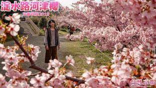 京都賞櫻2019 京都・櫻花季系列 京都最早開的櫻花!淀水路河津櫻