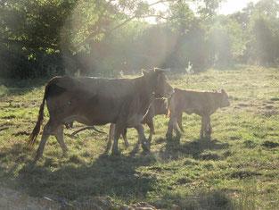 Vaches pré du Jardin Ferme de Mareil