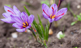 safran-flore-fleur-nature-baie-de-somme-picardie-hauts-de-france