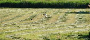 Storch in Begleitung eines Fasans