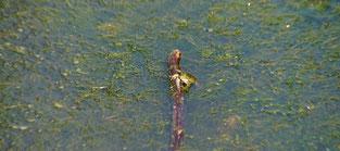 Ein Frosch bei guter Laune