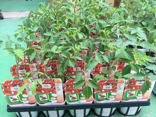 甘くて食べやすい人気のミニトマト「アイコ」