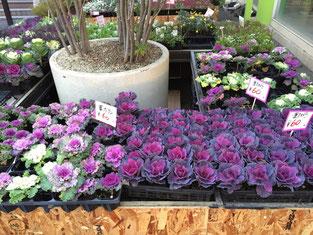 紫と白の色鮮やかな葉牡丹