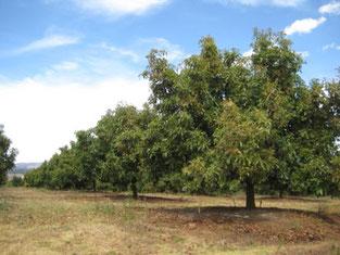 高さ20メートルにも成長する木